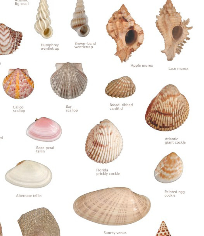 Gallery for types of seashells for kids - Types of seashells for kids ...